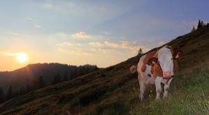 Kuh am Almenweg_7