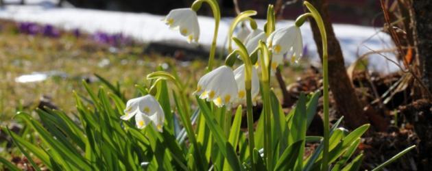 Wandern und weitwandern am Salzburger Almenweg - Region Großarltal - Frühlingsboten (c) TVB Großarltal