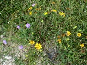 Etappe8-Wanderung-Goisererh++tte-Blumen-Foto-Ebenlechner-Petra