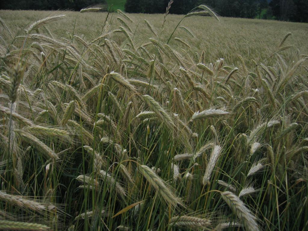 Getreide - immer ein Foto wert
