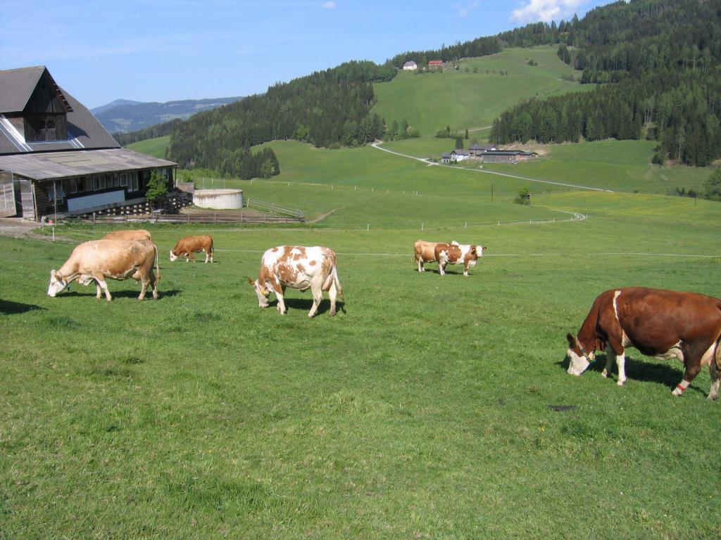 Man sollte keine Scheu vor Kühen haben, aber die meisten Kühe interessiert es gar nicht das man vorbeiwandert
