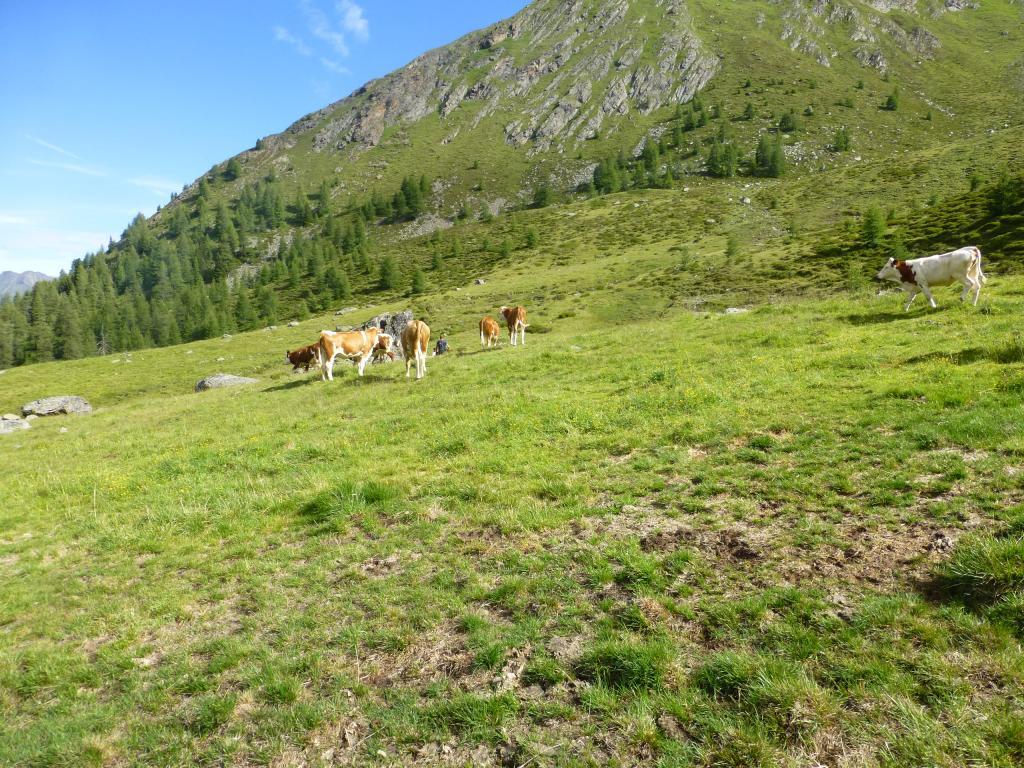 Unterwegs begegnet man auf den Almen natürlich auch Kühen