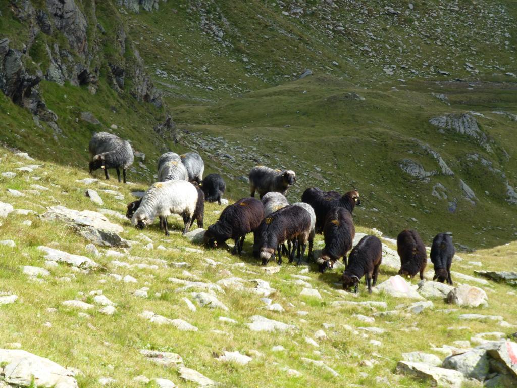 ...und Schafe grasen hier auf der Alm