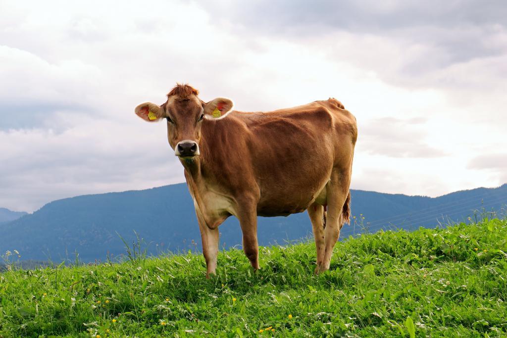 Kuh auf Almwiese © Pixabay