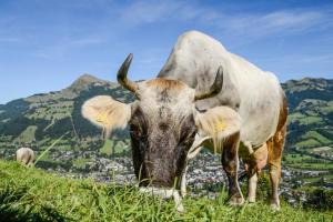 Wiese mit Kuh am KATwalk ©Kitzbüheler Alpen Marketing GmbH,-Peter-Vonier