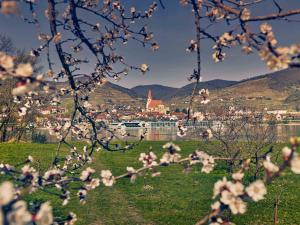 Marillenblüte © Niederösterreich Werbung, Andreas Hofer